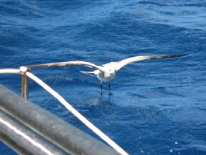 Image: My shearwater friend on the landing for another round of fishing...